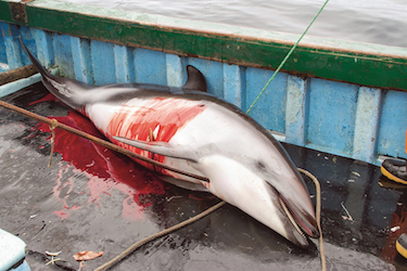 Peru Dolphins Killed For Shark Bait