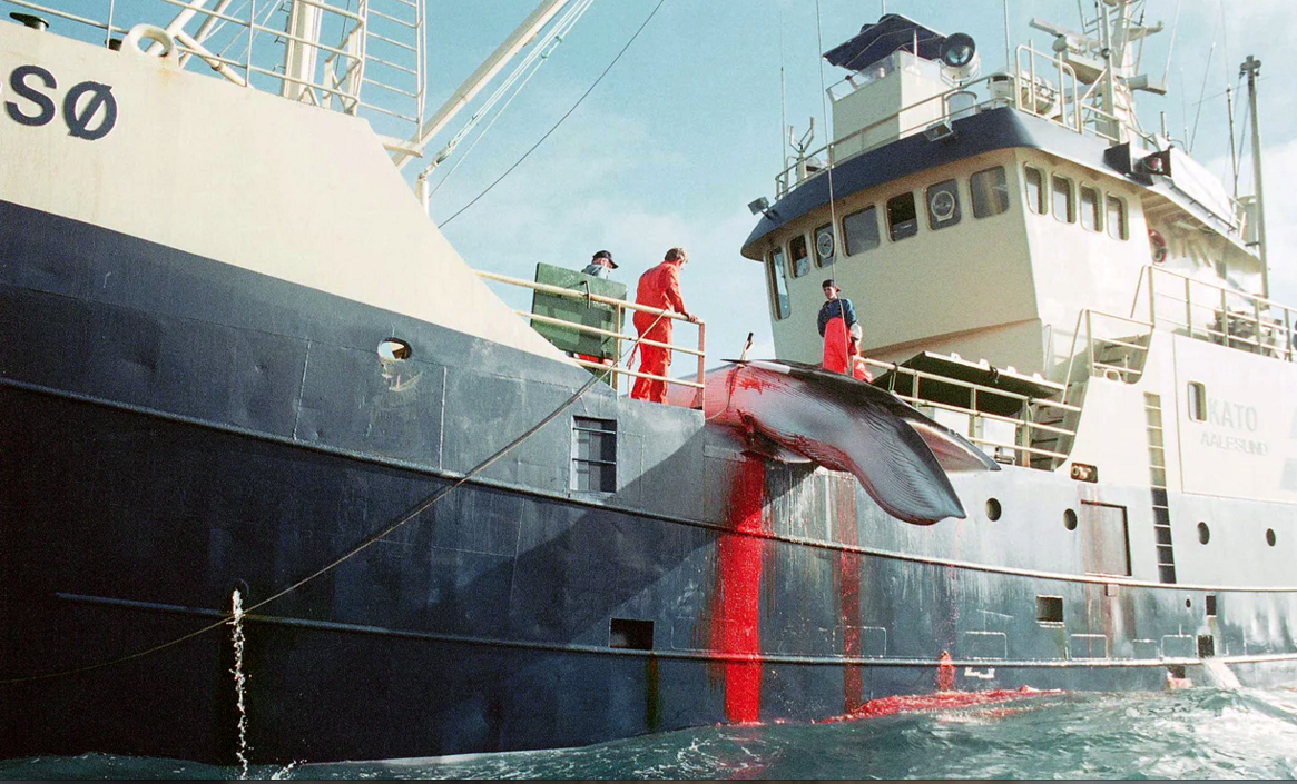Is Norway's Whaling Industry Killing Itself Our Of Business?