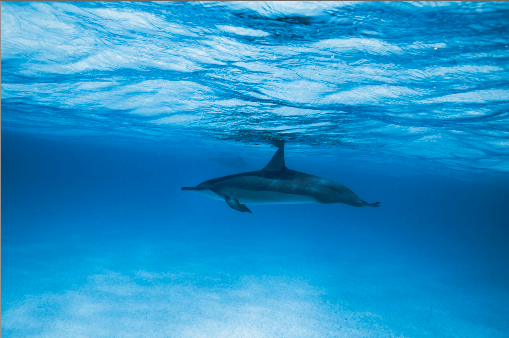 Spinner dolphin, Midway Atoll National Wildlife Refuge. Image courtesy of Tandem Stills + Motion.