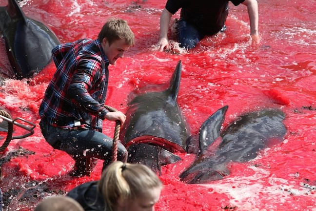 Faroe Island's Annual Pilot Whale Slaughter As Horrific As Taiji's Cove