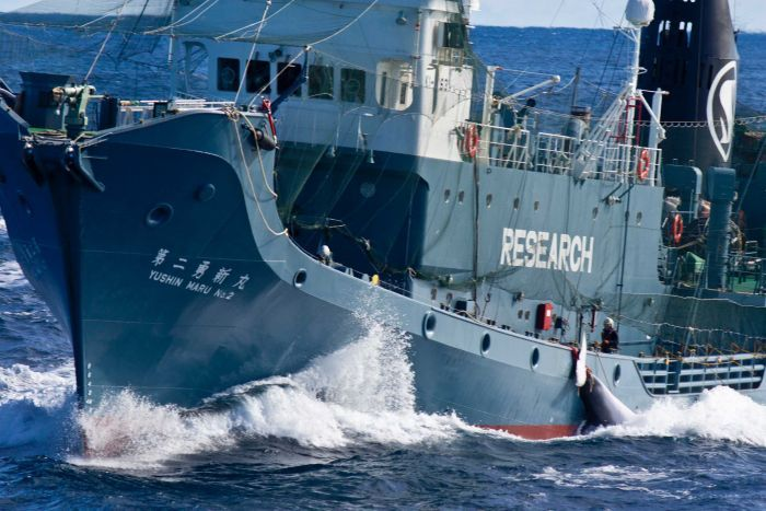 Japan Whaling Program Discovered Pregnant Whales Easier To Kill
