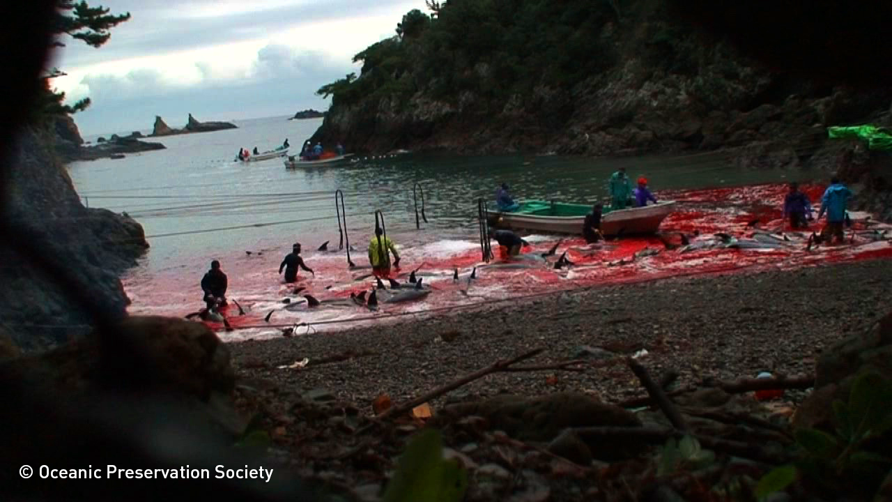 The Toll of Dolphins Under Siege in Taiji